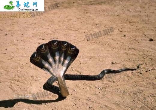 五头蛇(五头蛇)详细资料、图片及品种介绍