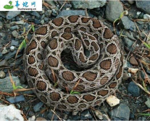 锁蛇(锁蛇)详细资料、图片及品种介绍