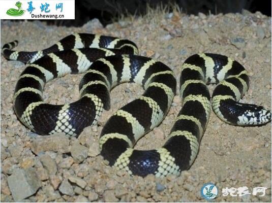 加州王蛇(无毒蛇)详细资料、图片及品种介绍