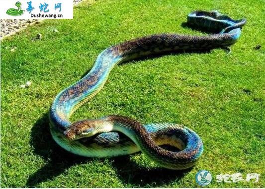 紫金蟒(无毒蛇)详细资料、图片及品种介绍