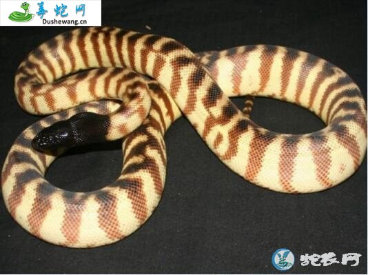 黑头蟒(无毒蛇)详细资料、图片及品种介绍