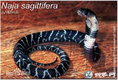安达曼眼镜蛇(有毒蛇)详细资料、图片及品种介绍