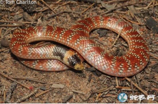澳大利亚珊瑚蛇(有毒蛇)详细资料、图片及品种介绍