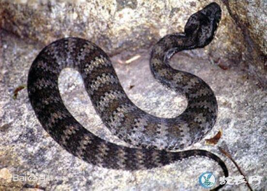 澳东蛇(有毒蛇)详细资料、图片及品种介绍