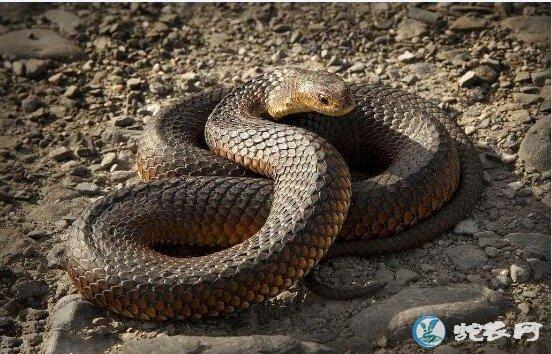 澳洲铜头蛇(有毒蛇)详细资料、图片及品种介绍