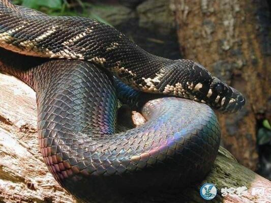 柏氏树蟒(无毒蛇)详细资料、图片及品种介绍