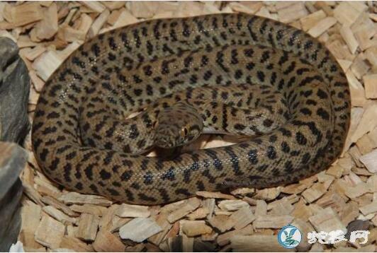 斑点星蟒(无毒蛇)详细资料、图片及品种介绍