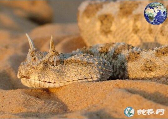 阿拉伯角蝰(有毒蛇)详细资料、图片及品种介绍