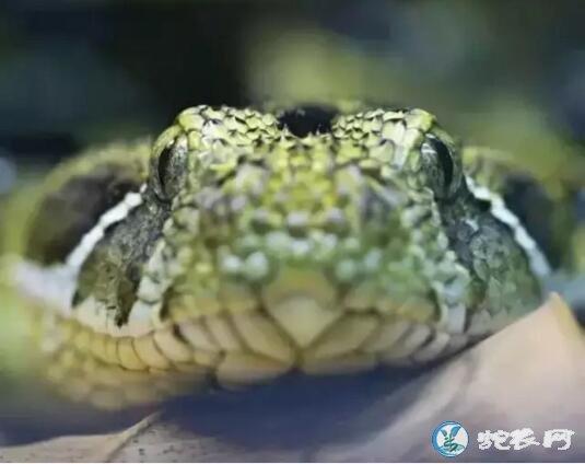 埃塞俄比亚咝蝰(有毒蛇)详细资料、图片及品种介绍