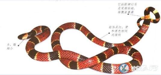 艾氏珊瑚蛇(有毒蛇)详细资料、图片及品种介绍