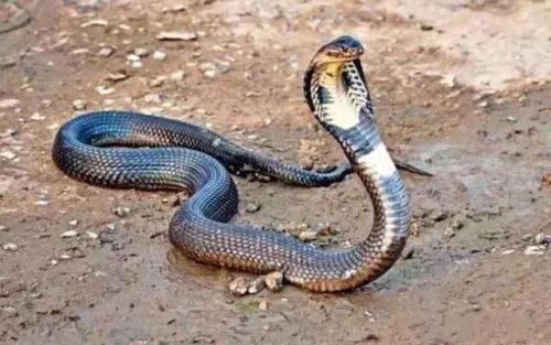 安达曼眼镜蛇图片
