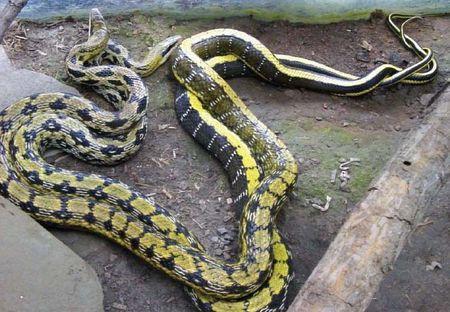 澳东蛇图片