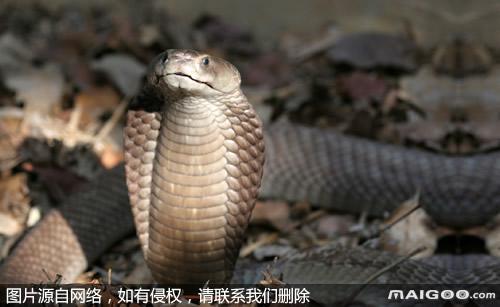 阿氏喷毒眼镜蛇图片