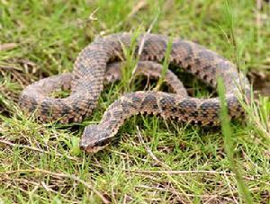 白眉蝮蛇图片