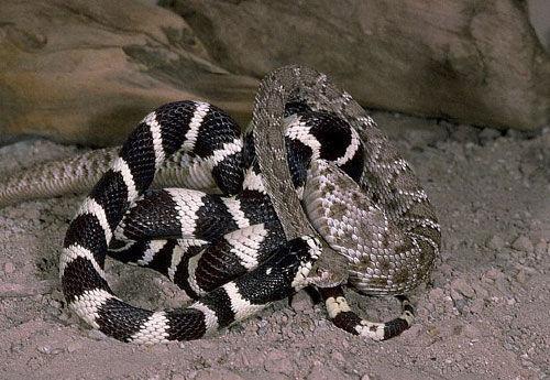 加州王蛇图片