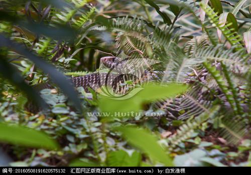 水律蛇、南蛇、滑鼠蛇图片