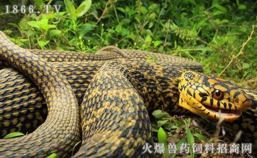 王锦蛇\/大王蛇图片