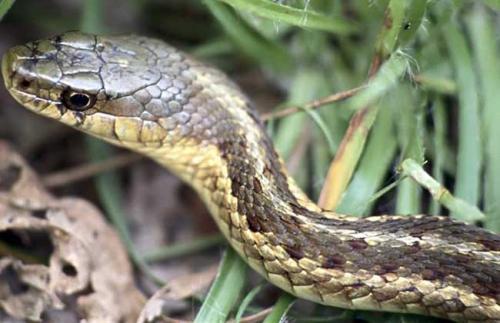 乌梢蛇图片