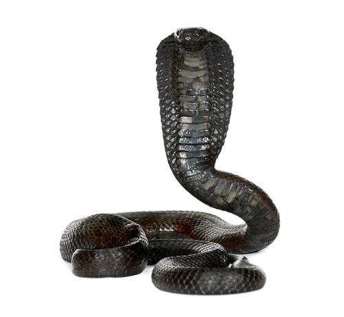 眼镜蛇图片