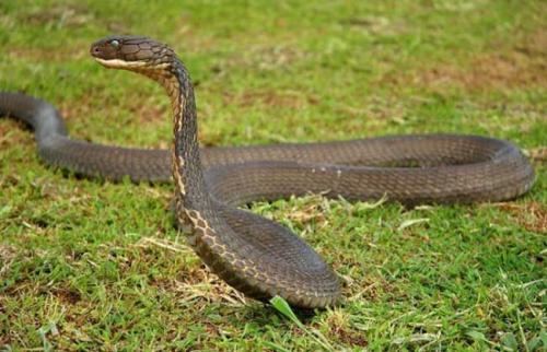 眼镜王蛇图片