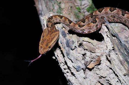 原矛头蝮蛇图片