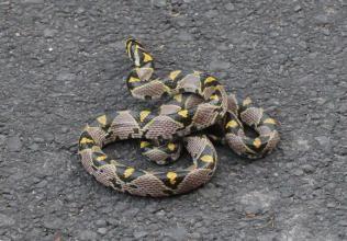 玉斑锦蛇图片