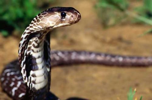 舟山眼镜蛇图片