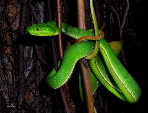 竹叶青蛇图片